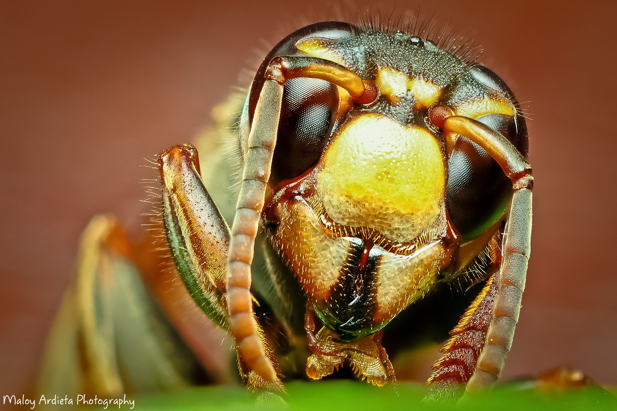 Photograph Bee - Closeup by Maloy Ardieta on 500px
