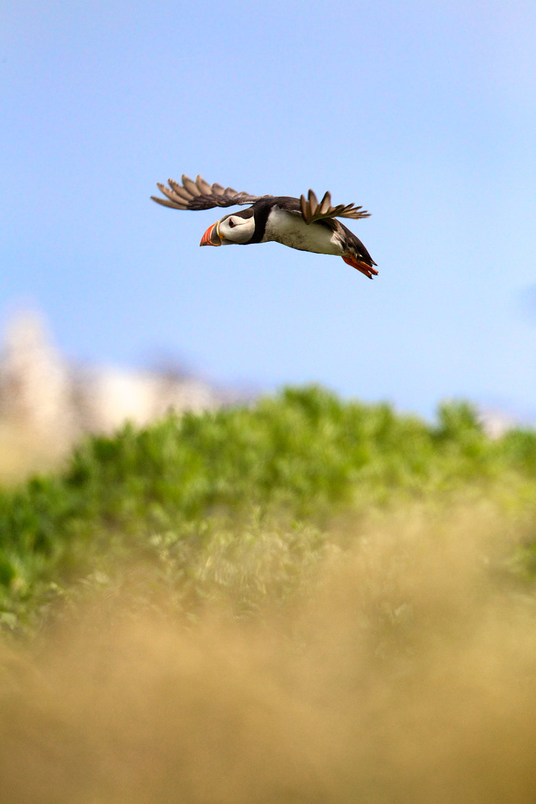 Photograph Puffin in flight by David Fidler on 500px