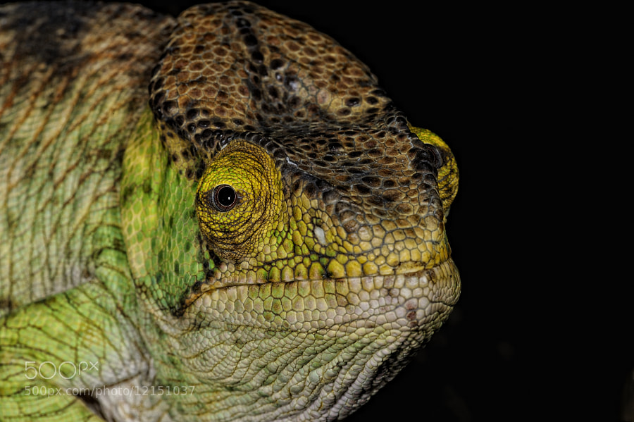 Photograph Chameleon Portrait by Josef Gelernter on 500px