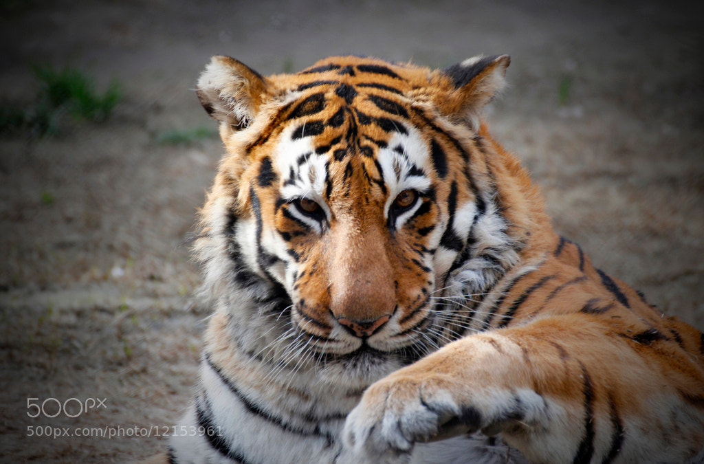 Photograph Tigre by Claudio Pérez on 500px