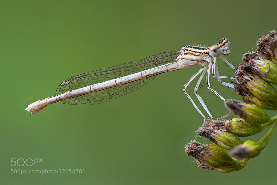 Photograph Platycnemis Pennipes - Focus Stack 19 File by Claudio Rossi on 500px