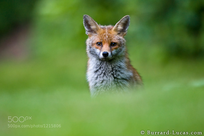 A beautiful wild red fox that we photographed in our garden in the UK.