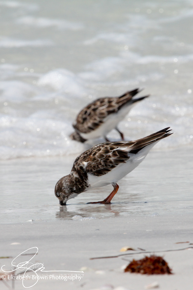 Photograph Ruddy Turnstones by Elizabeth Brown on 500px