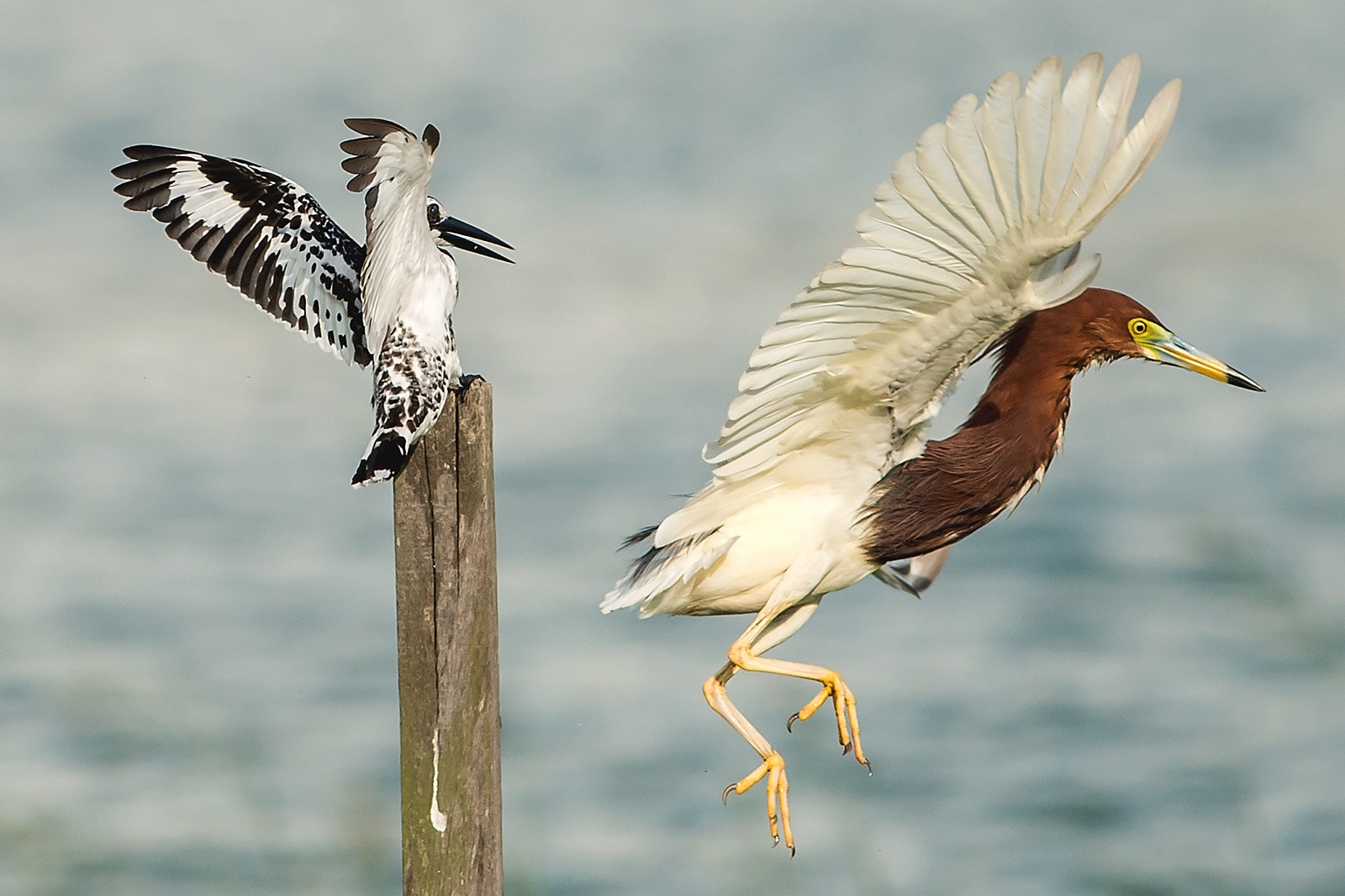Photograph Pied Kingfisher vs Chinese Pond-Heron by Ken Cheung on 500px