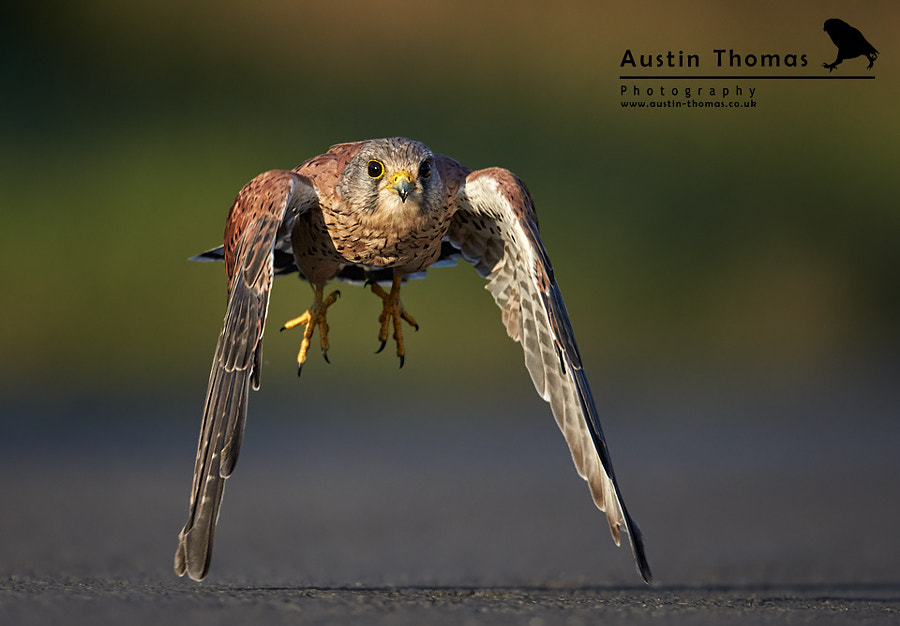 A Kestrel 'Walking on stilts'...