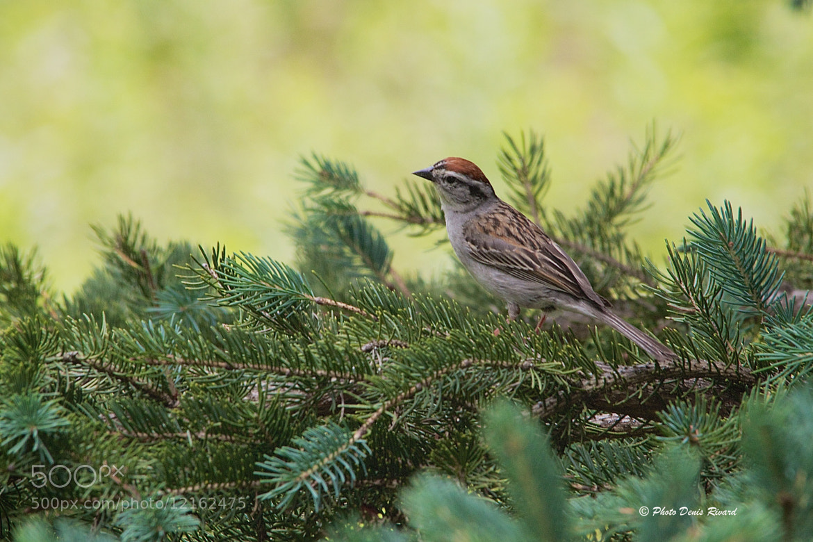 Photograph Chipping Sparrow by Denis Rivard on 500px
