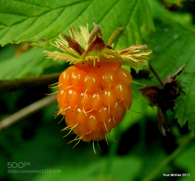 Photograph Salmonberry by Rue McKee on 500px