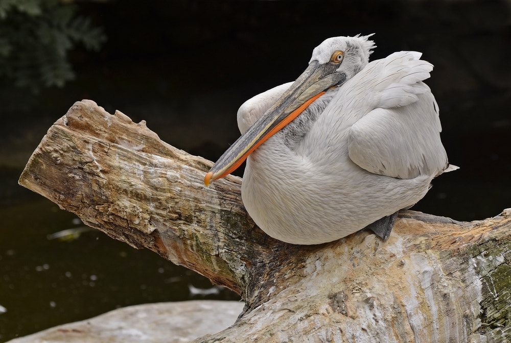 Photograph white Pelican by david penez on 500px