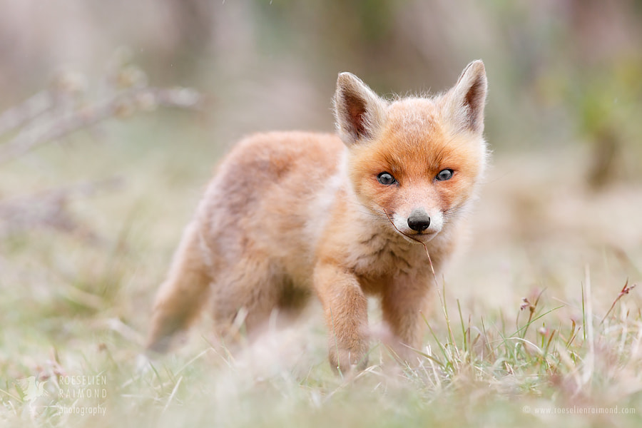 Little Fox in the Moss by Roeselien Raimond on 500px.com