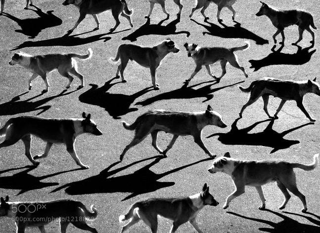 Photograph тени отбрасывают собак by Alexey Menschikov on 500px