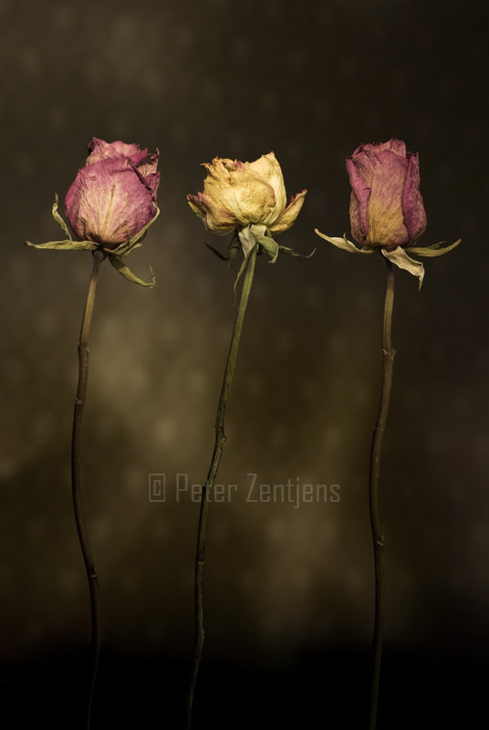 Photograph 3 Roses by Peter Zentjens on 500px