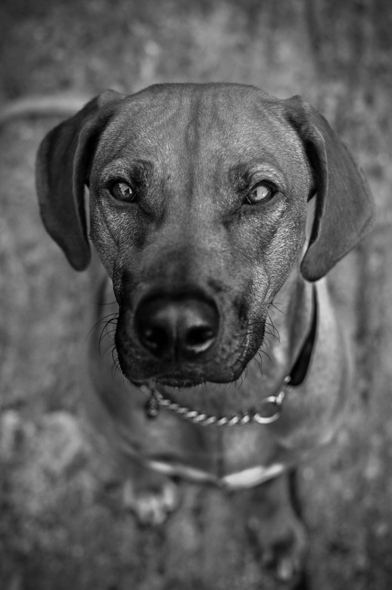 Photograph Rhodesian Ridgeback by Fredrik Christensson on 500px