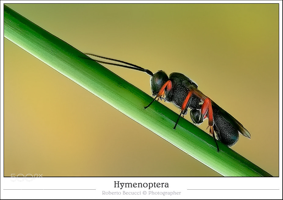 Photograph Hymenoptera by Roberto Becucci on 500px