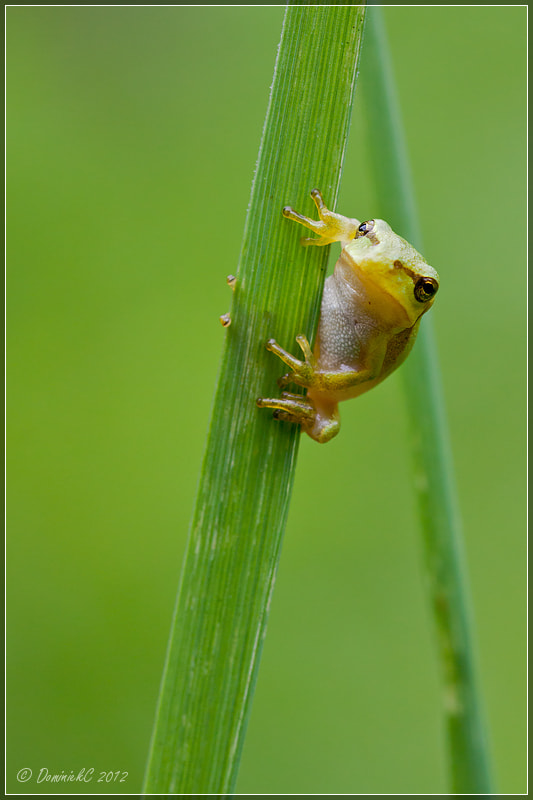 Photograph European tree frog 2 by Dominiek Cottem on 500px