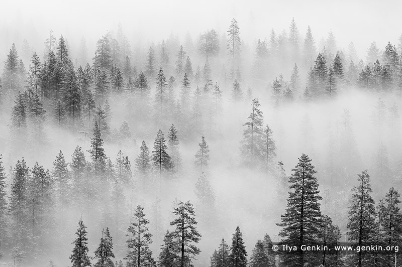 Photograph Pine Trees in Clouds by Ilya Genkin on 500px