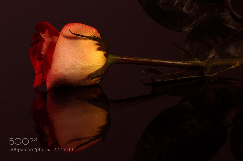 Photograph Rose reflection by Cristobal Garciaferro Rubio on 500px