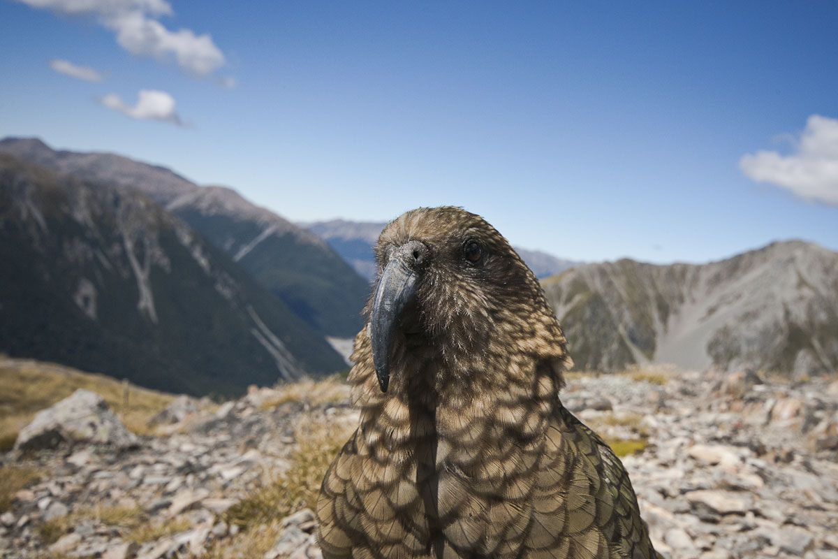 Photograph Kea in the Mountains by Craig Nash on 500px