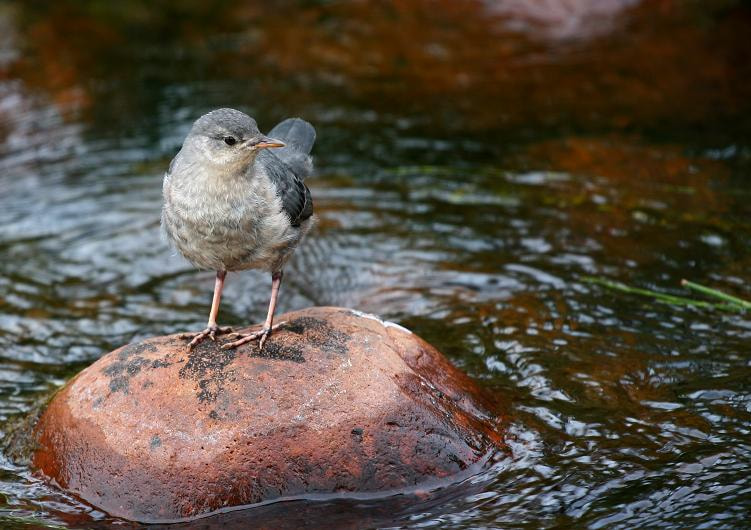 Photograph Dip Dip Dipper by hylobates on 500px