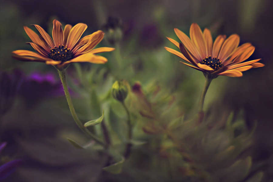 Photograph Double daisy by Dina Telhami on 500px
