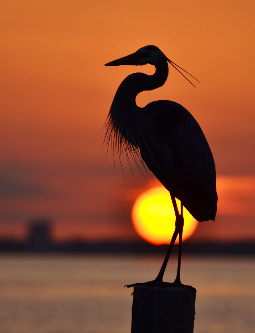 Photograph Heron and the Setting Sun by Michael Fitzsimmons on 500px