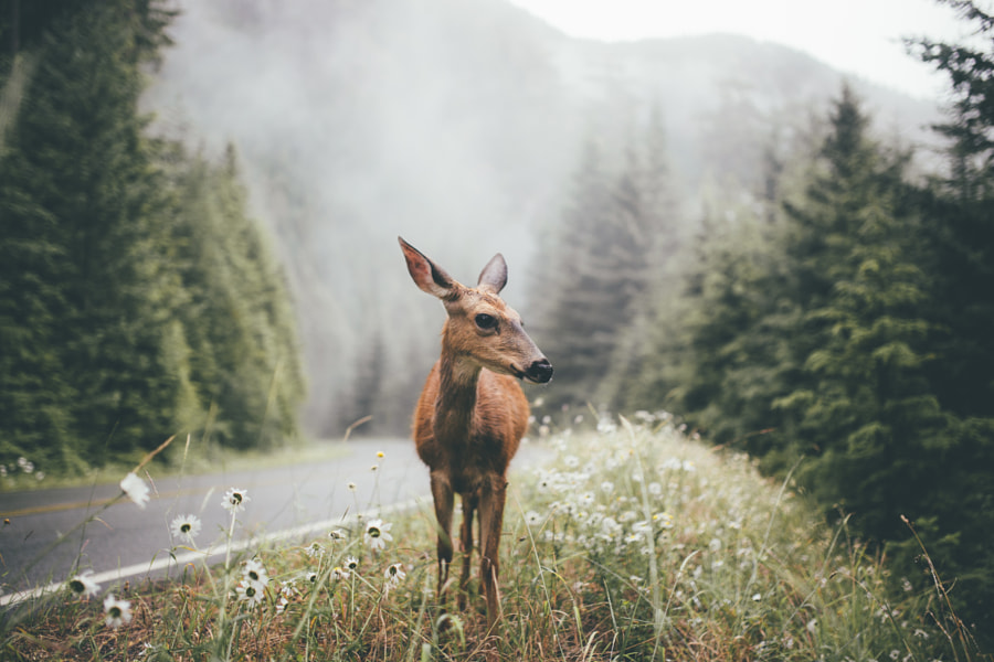 Photograph Deer in Olympic National Park by Dylan Furst on 500px