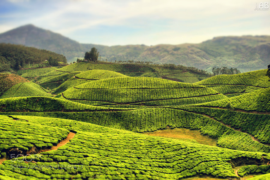 Photograph Tea Gardens by Alexandra (Petrova) & Bharath Wootla on 500px