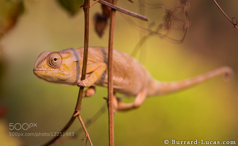 Photograph Chameleon by Will Burrard-Lucas on 500px