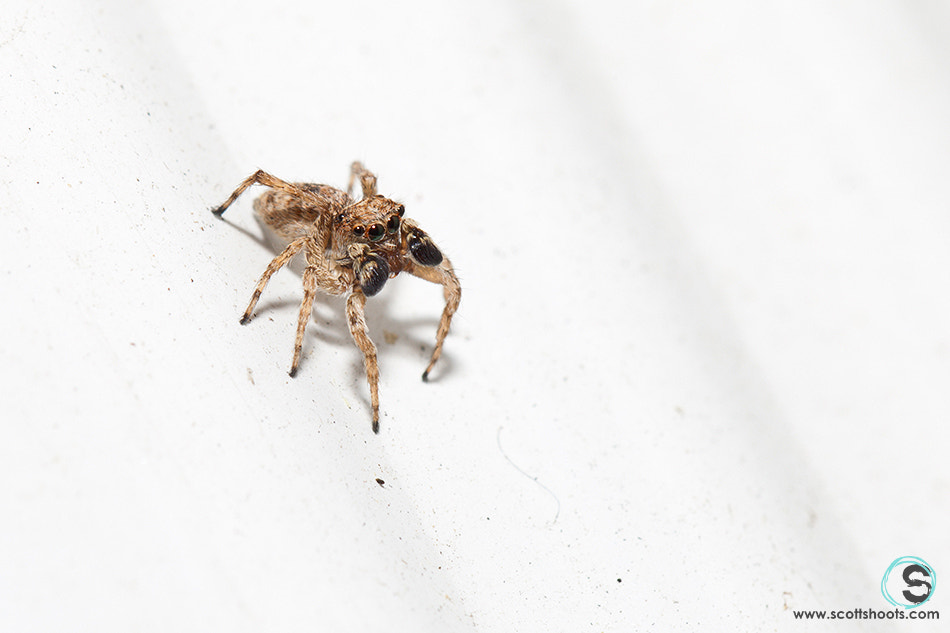 Photograph Jumping Spider Poised To Strike by Scott Neumyer on 500px