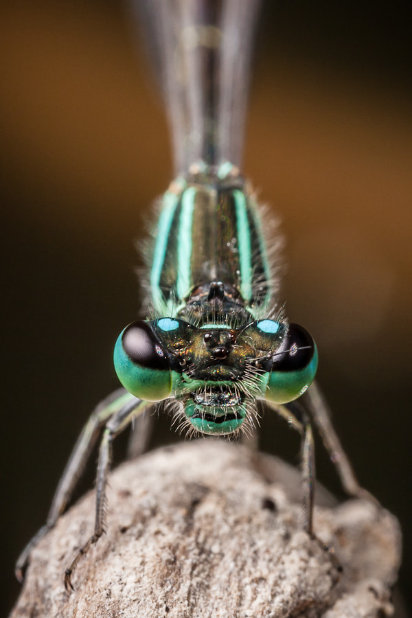 Photograph Ischnura elegans by Stavros Markopoulos on 500px