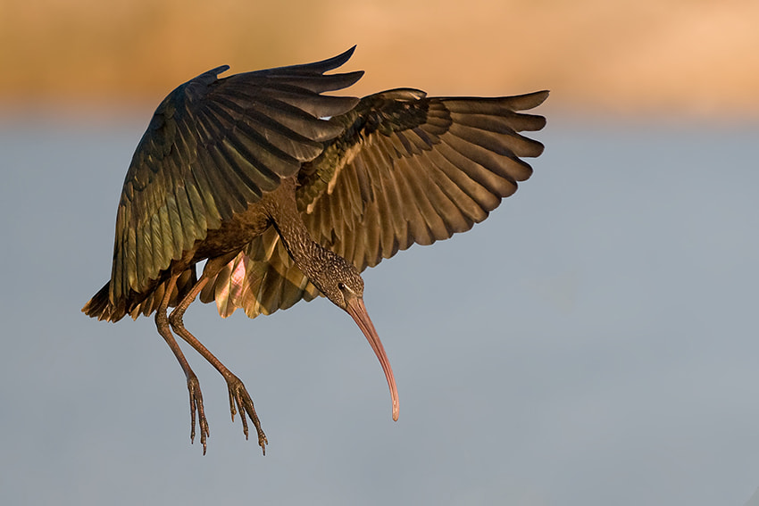 Photograph Glossy Ibis by nissim levi on 500px