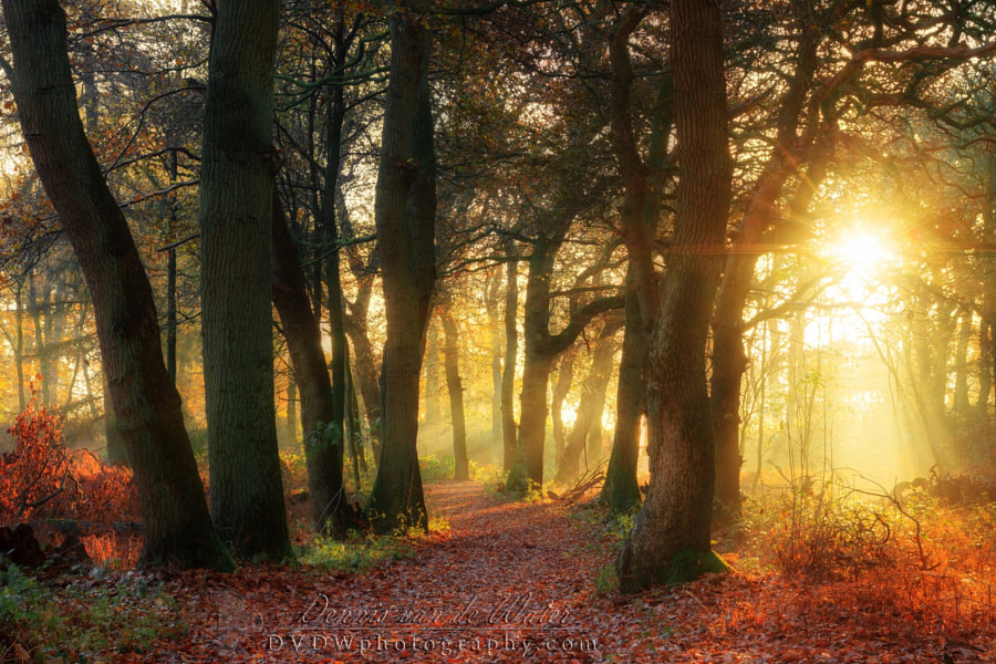 Photograph Forest gold by Dennis van de Water on 500px