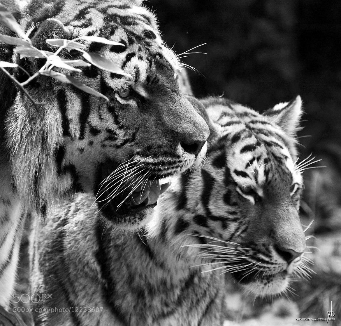 Photograph tiger and tiger by y b on 500px