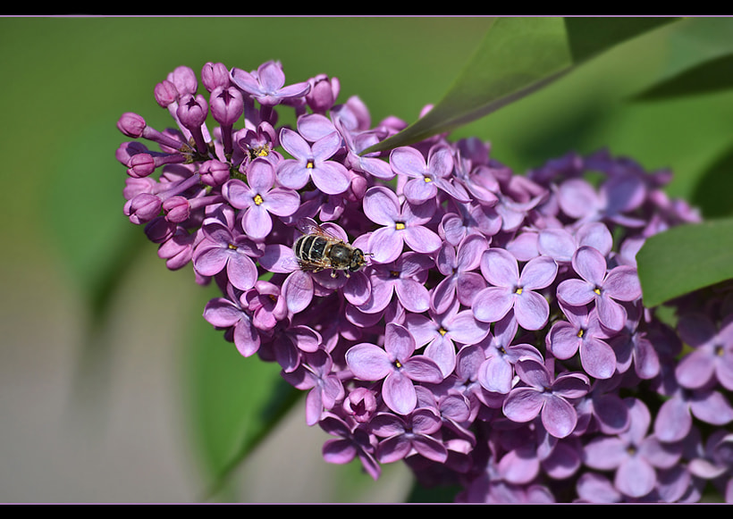 Photograph Taste  of  lilac... by Ирина Никитина on 500px