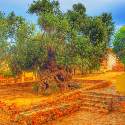3000 year old olive tree at Vouves, Crete