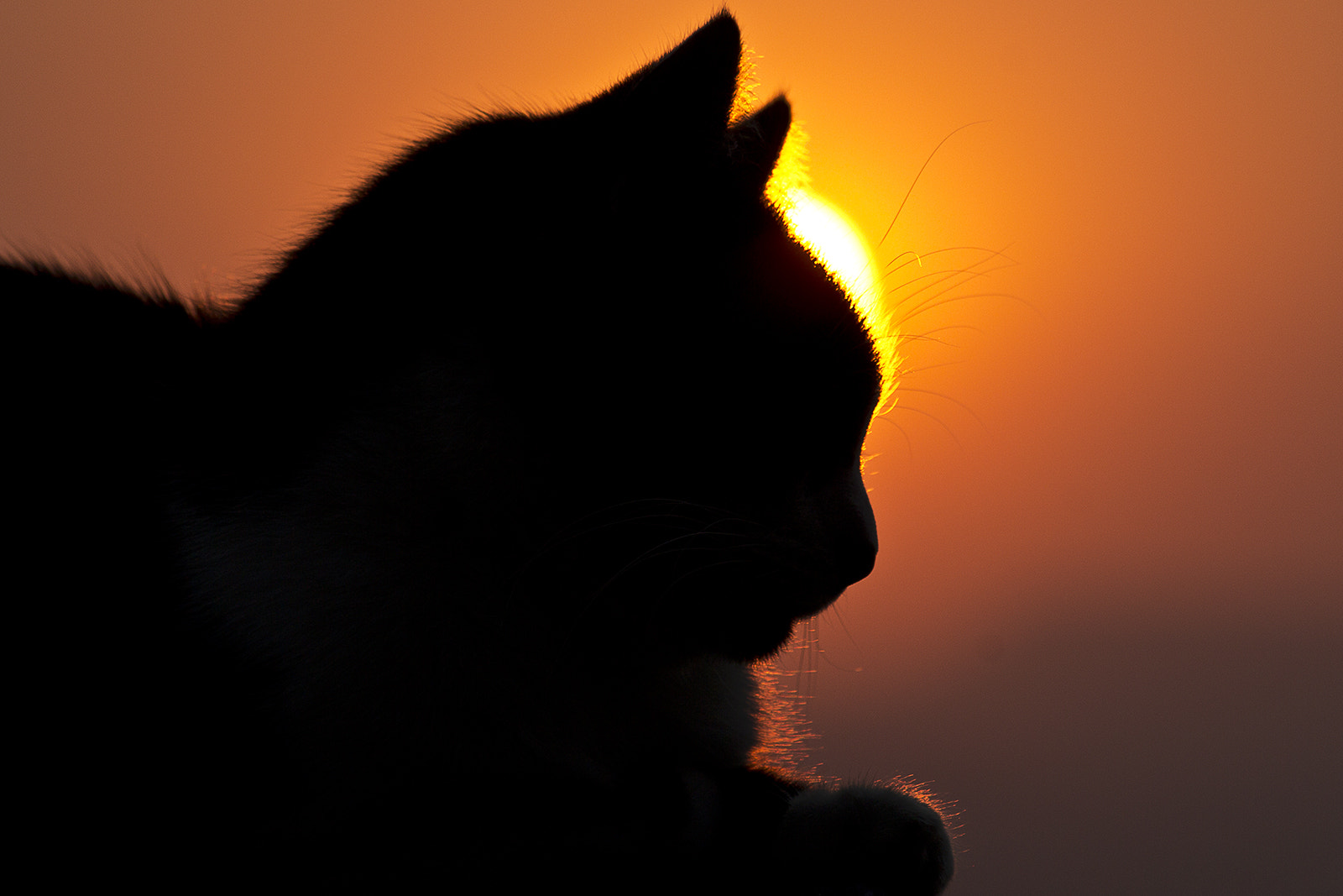 Photograph Sunset Cat by Roger Fanner on 500px