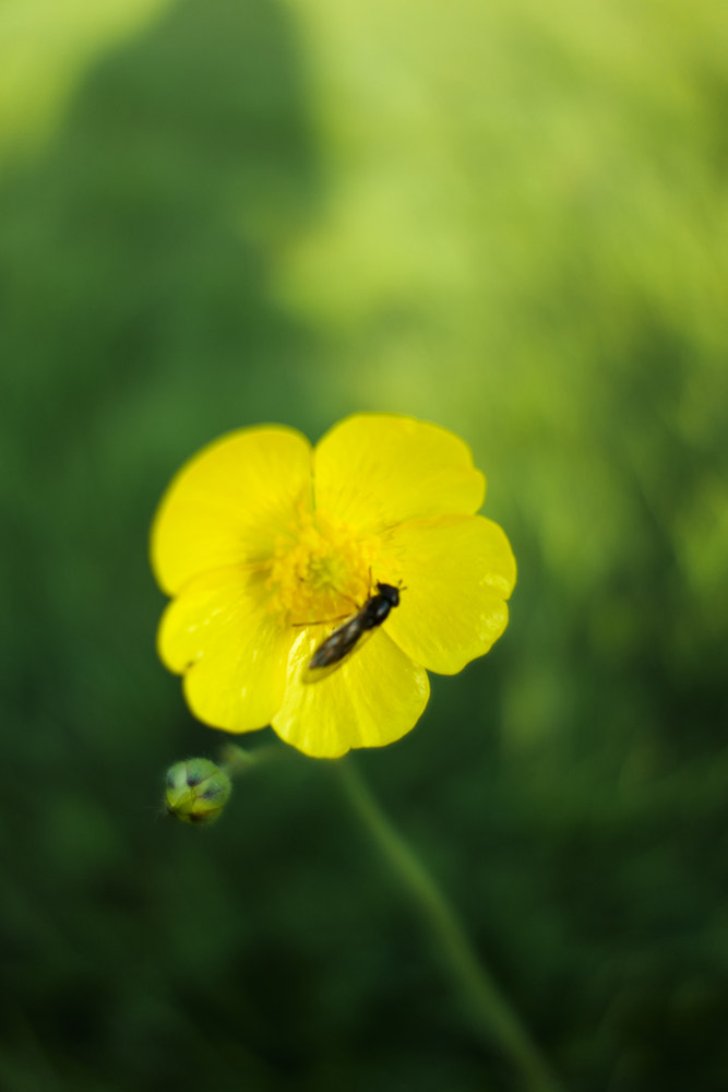 Photograph Buttercup by Mark Dermott on 500px