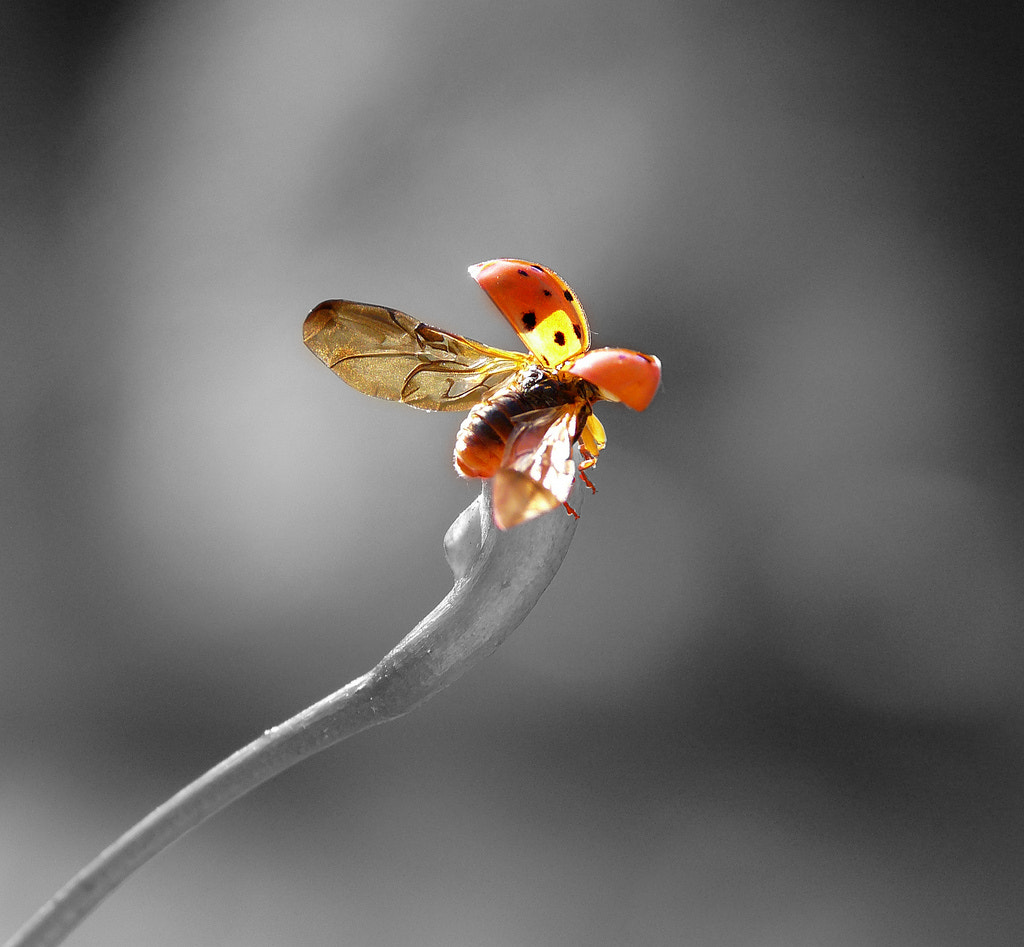 Photograph Ladybug by Ellen Fuhlenriede on 500px