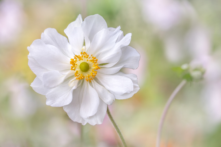 Anemone by Mandy Disher on 500px.com