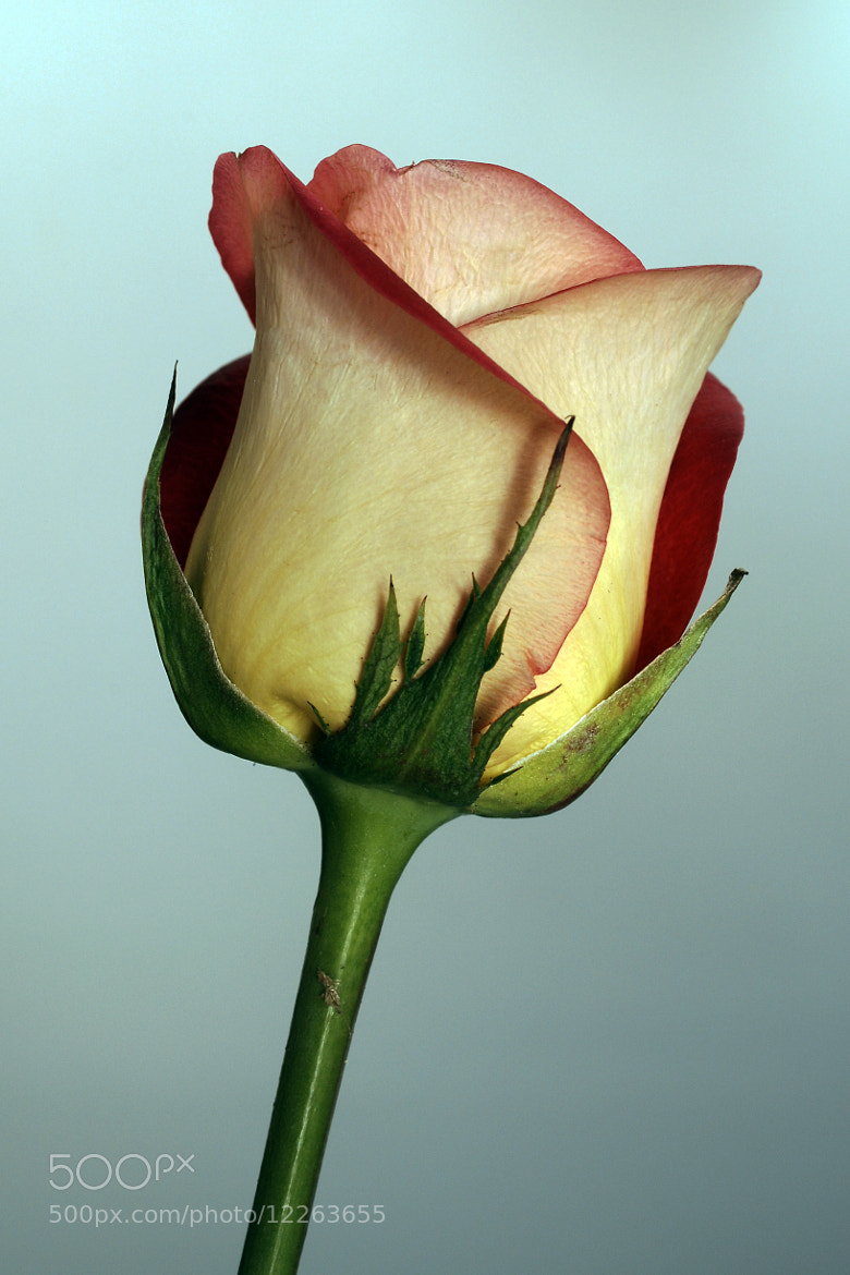 Photograph Rose by Cristobal Garciaferro Rubio on 500px