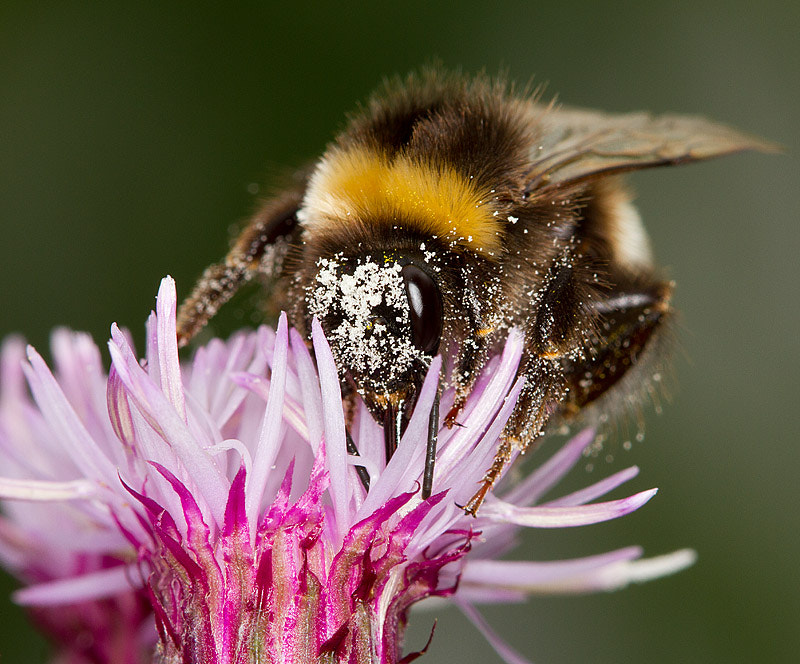 Photograph Pollen covered Bumblebee by Michael Carroll on 500px