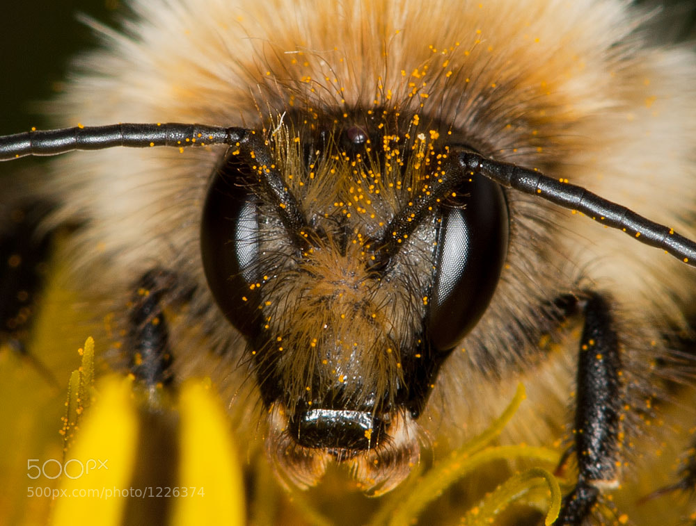Photograph Carder Bee Closeup by Michael Carroll on 500px