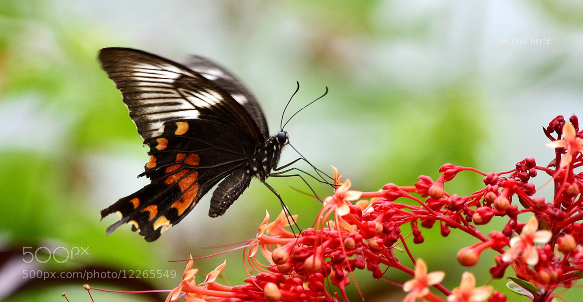 Photograph Common Mormon (female) by Rashmi Herle on 500px