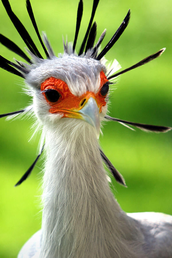 Secretary bird by Rudi Luyten on 500px.com