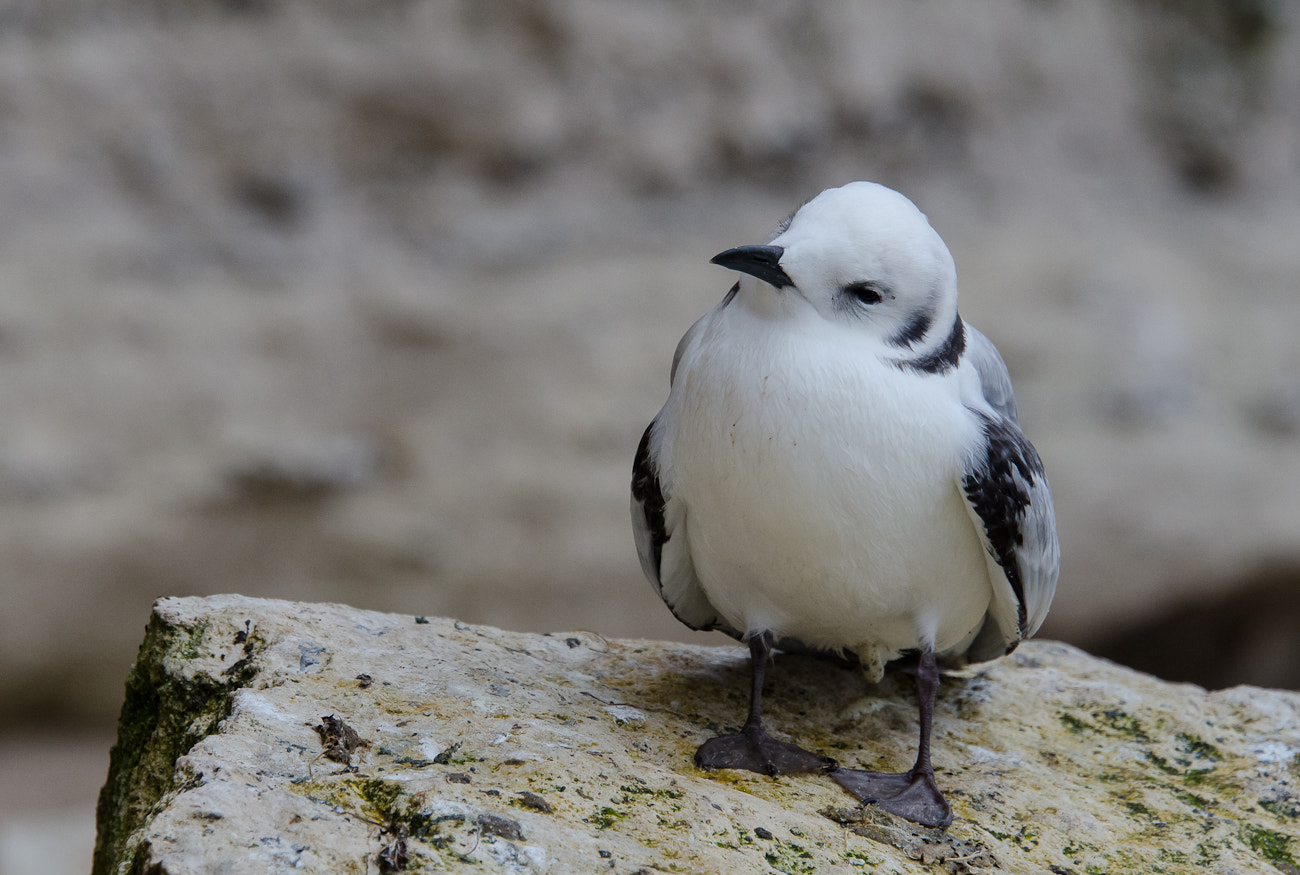 Photograph Babybird... Black-legged Kittiwake by Jette Vad on 500px