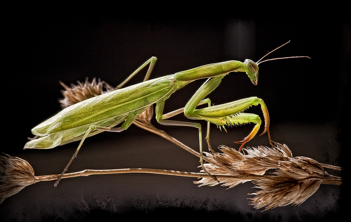 Photograph Mantis 02 by Txema Lacunza on 500px
