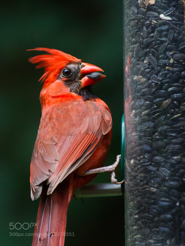 Photograph Cardinal Feast by Kenneth Keifer on 500px