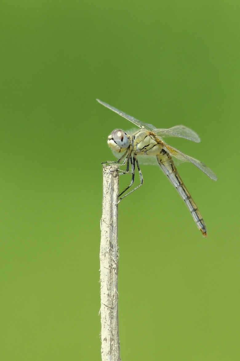 Photograph Dragonfly by Víctor Campano on 500px