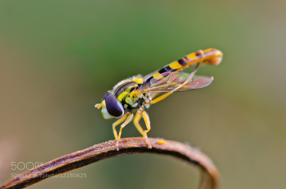 Photograph hoverfly by Mark Oomens on 500px