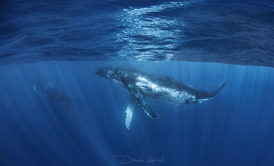 Humpack whale by Davide Lopresti on 500px.com