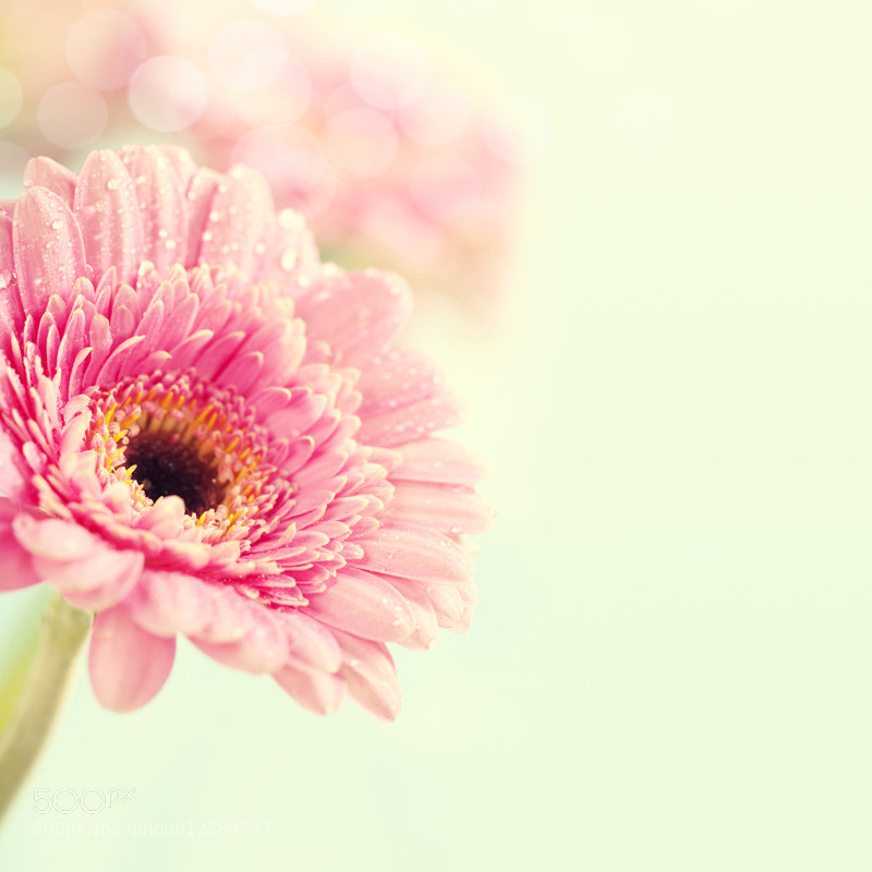 Photograph gerbera flowers by Natalia Klenova on 500px